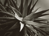 5112-cactus-with-itty-bitty-dark-bw-copy