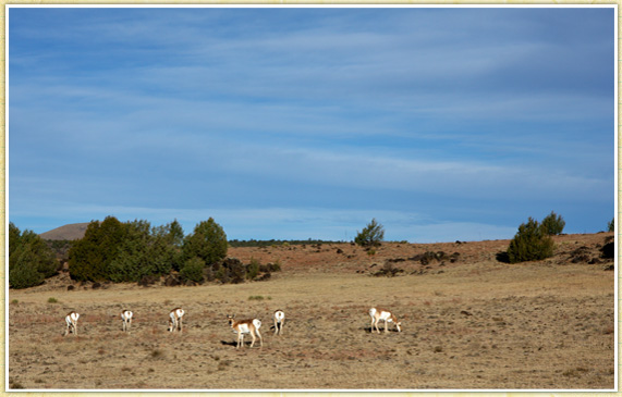 Solo Pronghorn